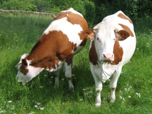 2-vaches